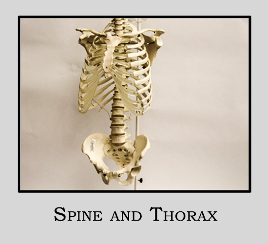 Human Model Spine and Thorax