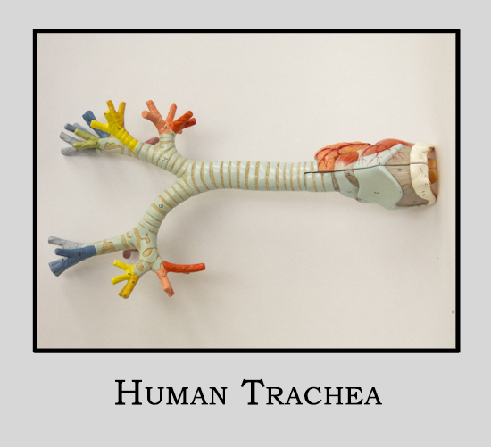 Human Model Trachea w/stand