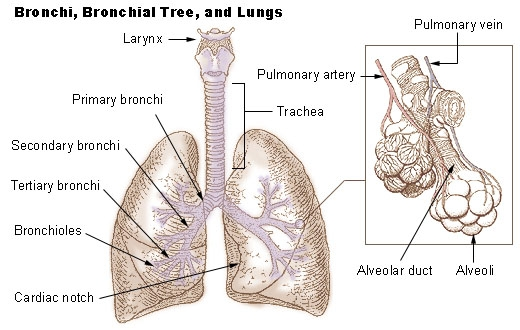 Bronchi, Bronchial Tree and Lungs