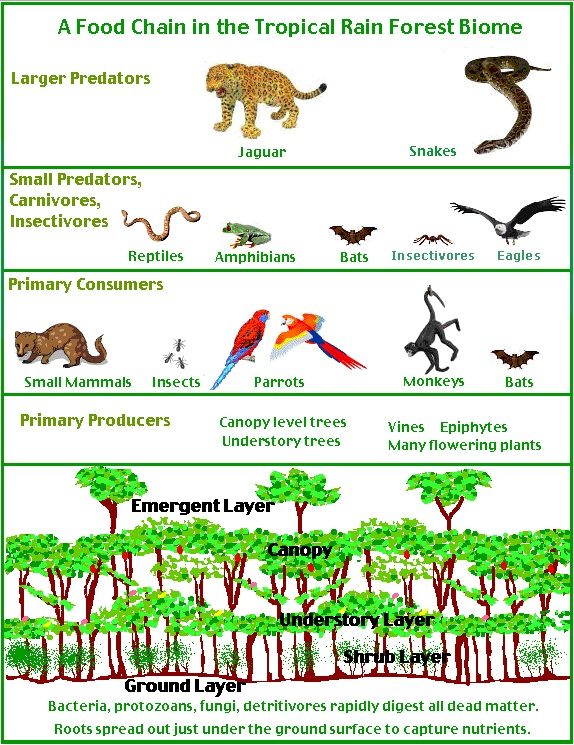 Food chains and food webs - A-level Geography - Ecosystems: Change ...