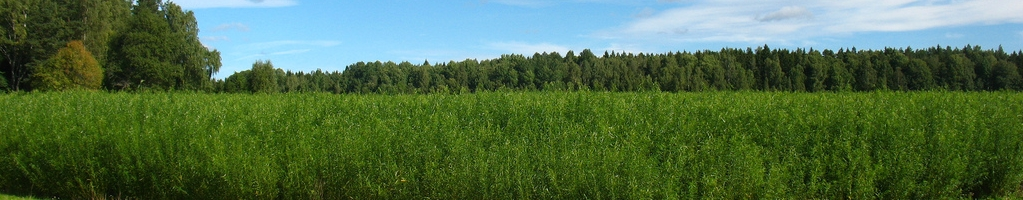 Field of willow grass