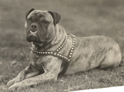 Early bulldog mascot