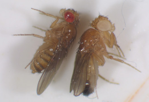 simulated breeding experiments with drosophila mendelian Drosophila,+fruit+fly+culture+kit as a way to study mendelian  you should order flies about one month prior to the experiment so that you can .