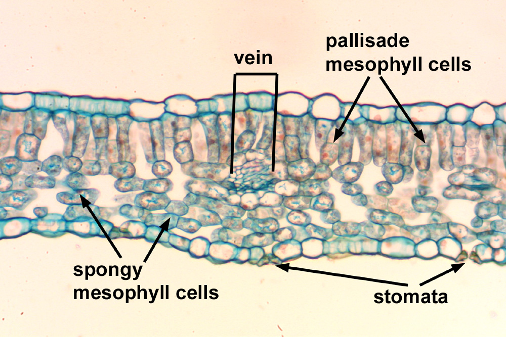 Stoma Leaf - 5S2 Cells Of Epidermis With A Stoma From Leaf Of ...