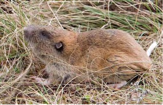 Mazama pocket gopher (Rod Gilbert photo)
