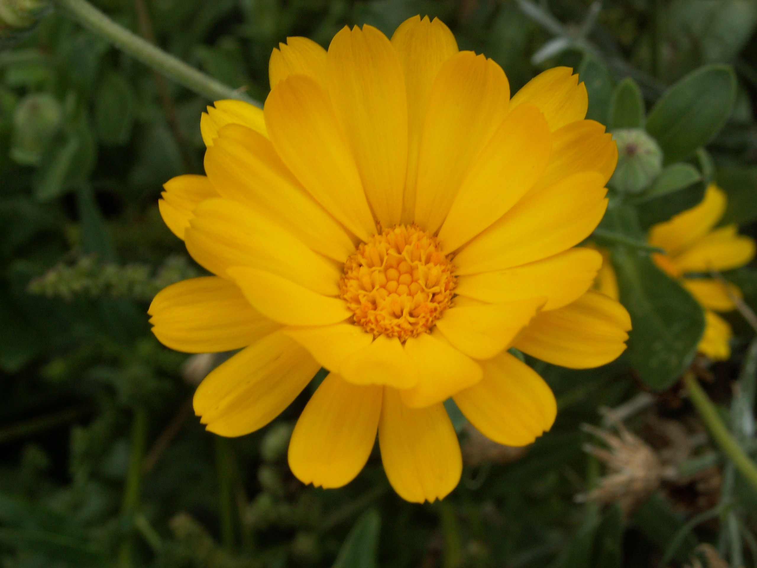Image of marigold flower
