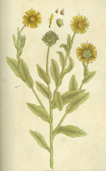 Image of Pot Marigold herb