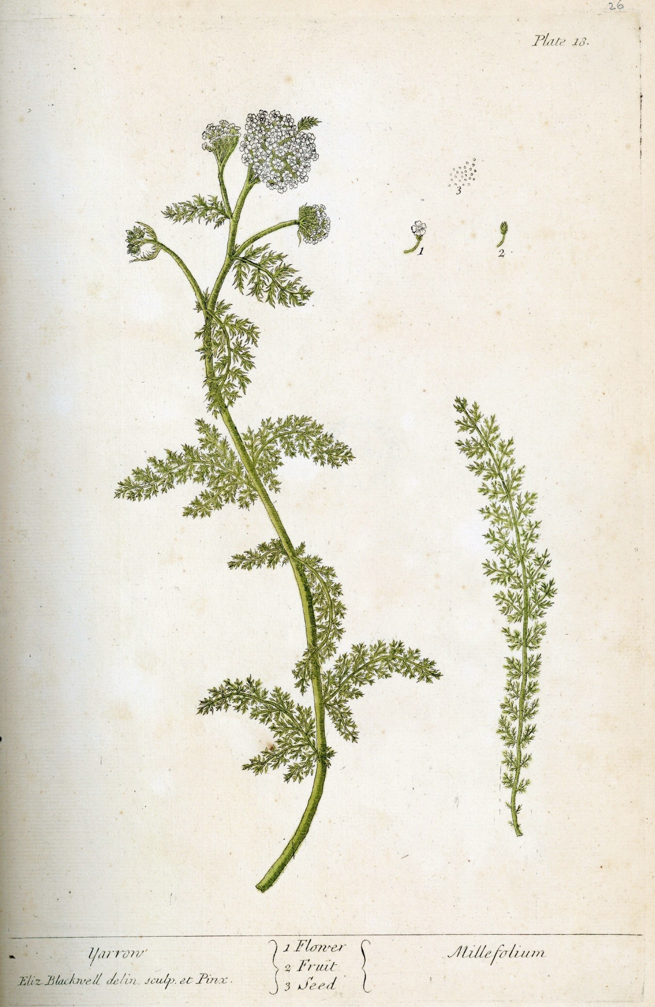 Image of Yarrow herb