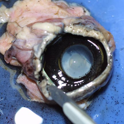 Real Eyeball Cut In Half | www.pixshark.com - Images ...
