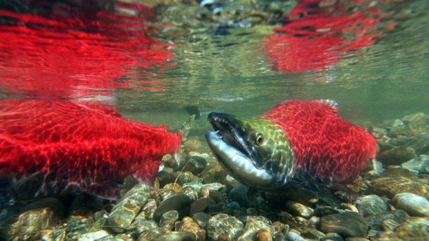 sockeye red salmon swimming