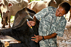 Cow Checkup, by U.S. Army