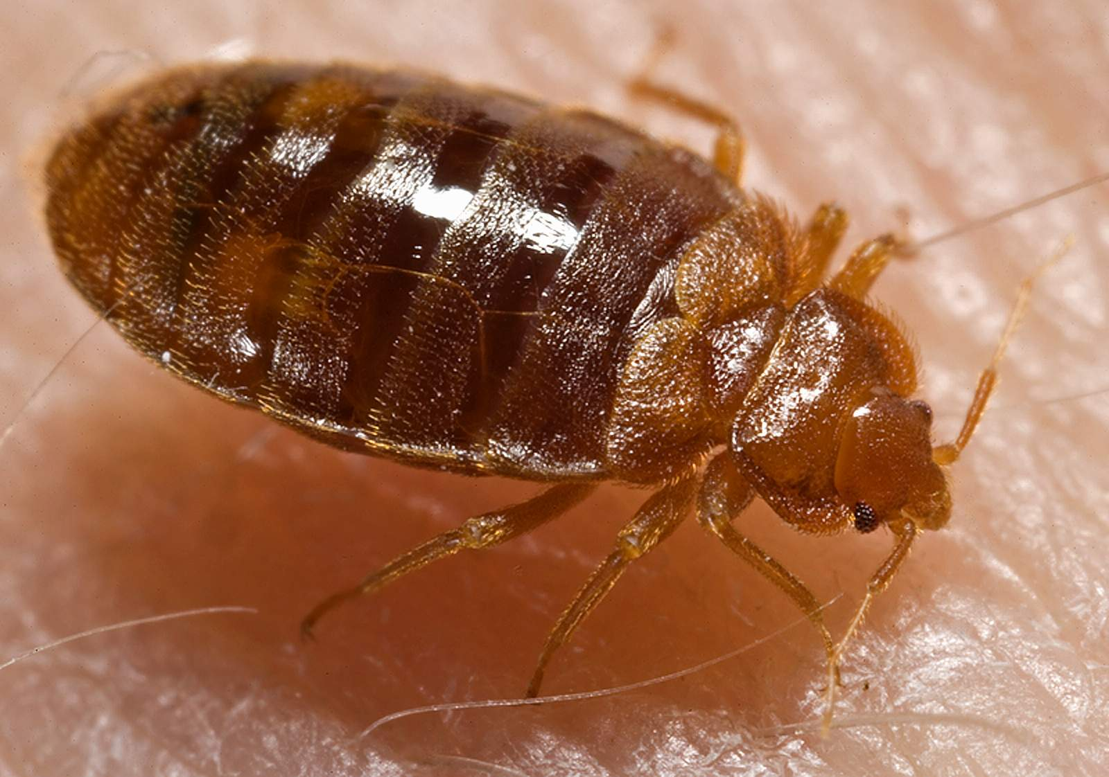 Photograph of a Bed Bug