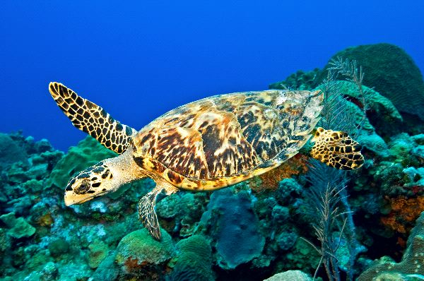 Image Hawksbill turtle swimming