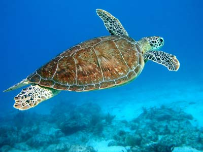 Image Green turtle swimming