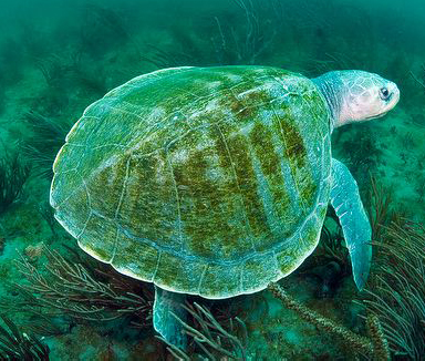 Image Kemp's Ridley turtle swimming