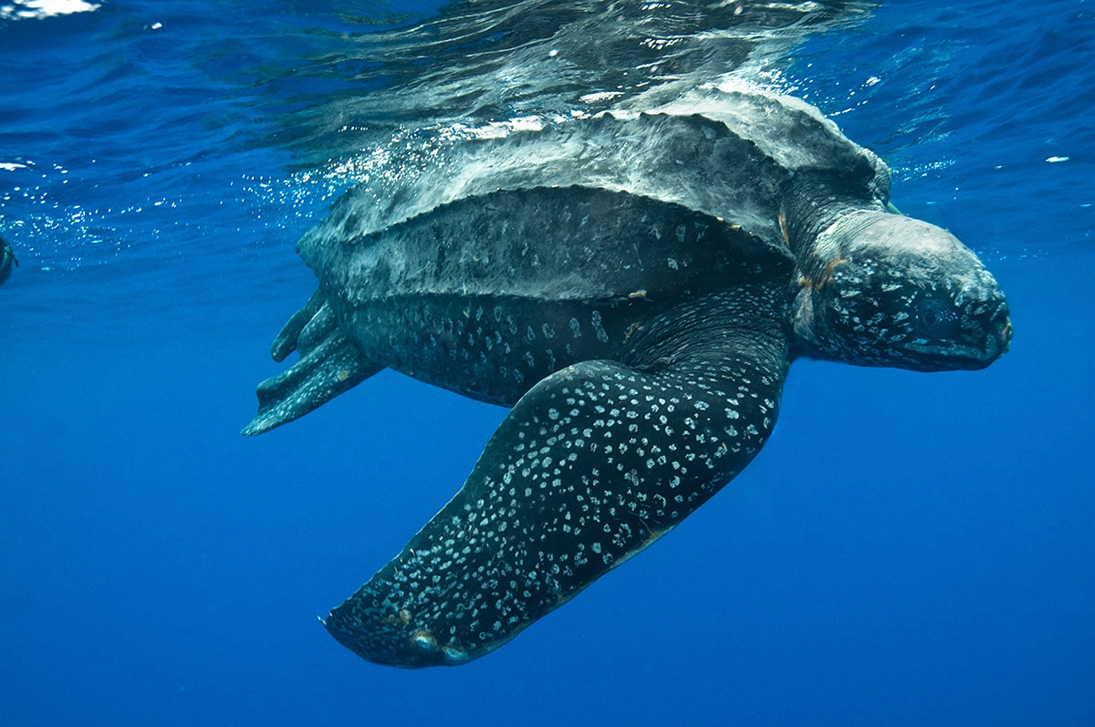 Image leatherback sea turtle swimming