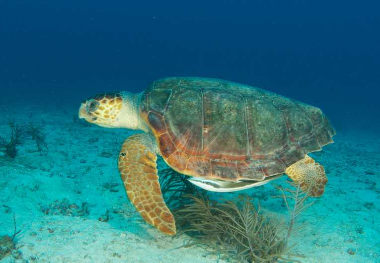 Image Loggerhead turtle swimming