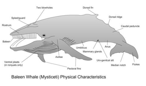 Cetaceans Marcy Library Libguides At Hamilton School District