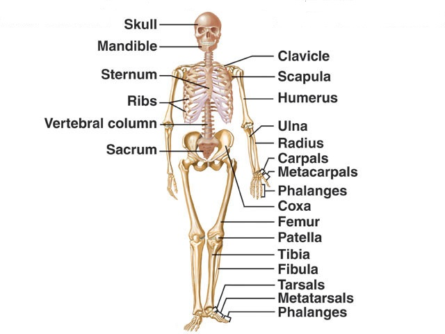 image of a skeleton with the names of different bones