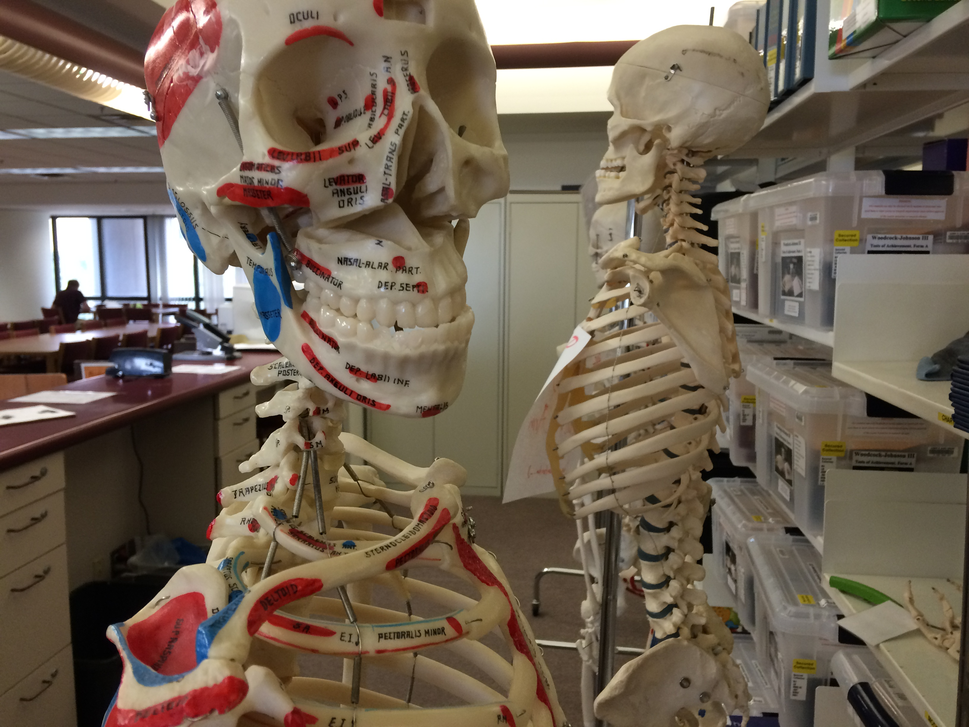 Anatomical Models Library Collections On 3rd Floor Libguides At