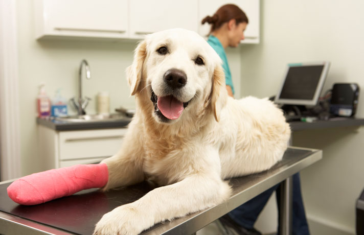This is an image of a friendly and happy labrador dog on veterinary table with bandasged paws,