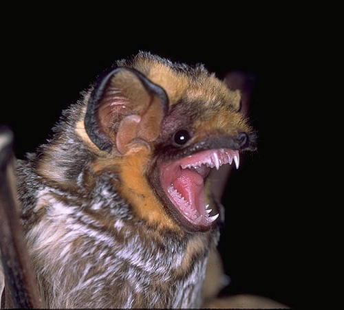 Hawaiian Hoary Bat