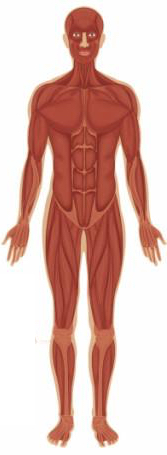 home - human body systems - libguides at washington county public, Muscles