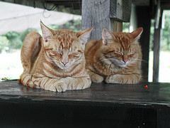 Two orange cats sleeping next to each other