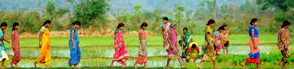 Women working in their rice paddy fields in Odisha, India.