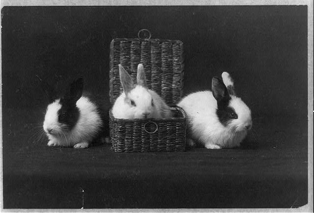 [Three rabbits, one of them in a basket]. (1910?). Library of Congress Prints and Photographs. Retrieved from: http://hdl.loc.gov/loc.pnp/cph.3b43772