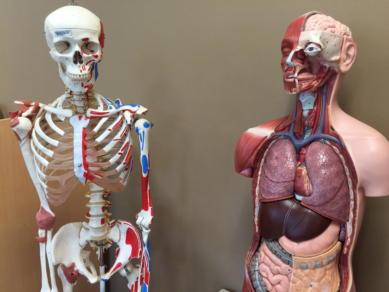 photo skeleton and torso models