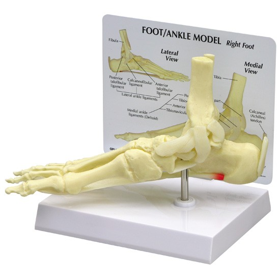 Anatomy Models and Videos - Anatomy and Physiology Guide - LibGuides ...