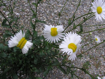 A picture of mutated daisies, supposedly a result of nuclear radiation at Fukushima.