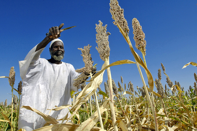 Sudan farmer is harvesting sorghum plants