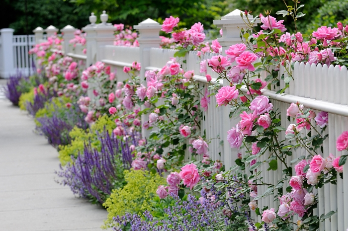roses on fence