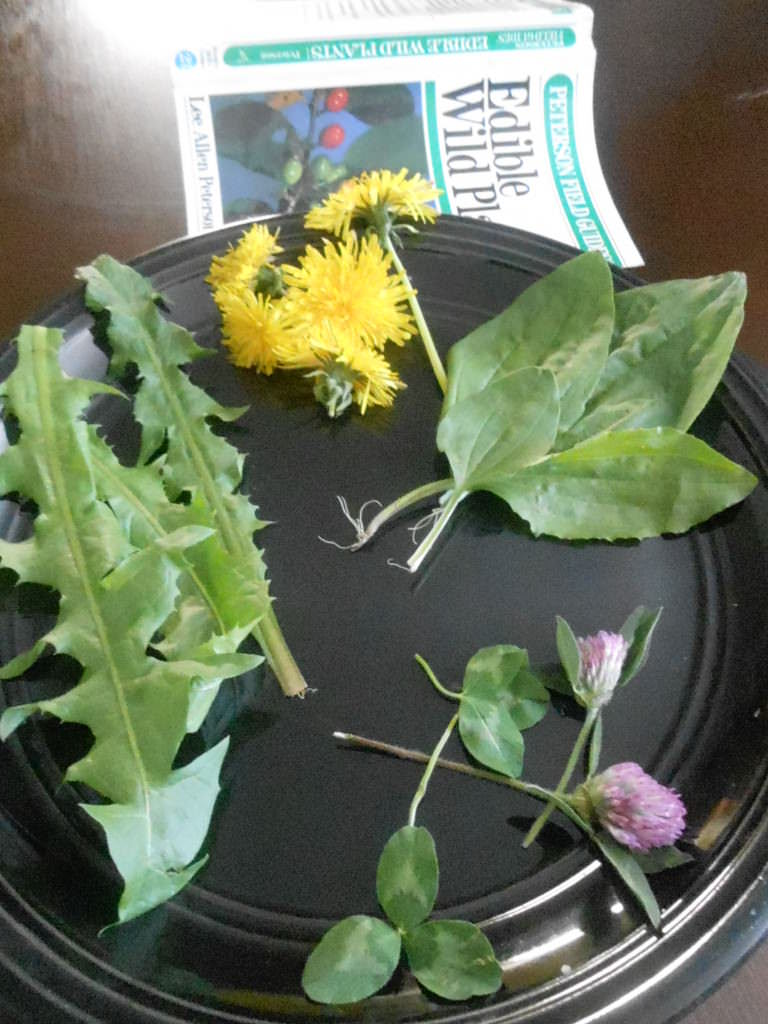 12:00 dandelion flower 2:00 plantain leaf 5:00 white clover leaf and flower 7-11:00 dandelion green