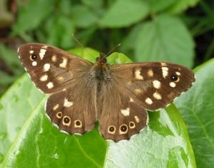 Male Speckled Wood Butterfly