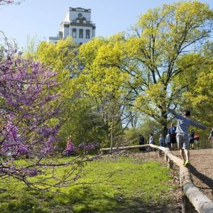 Blossoming trees in Prospect Park, Brooklyn