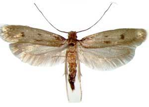 case-making-cloth-moth