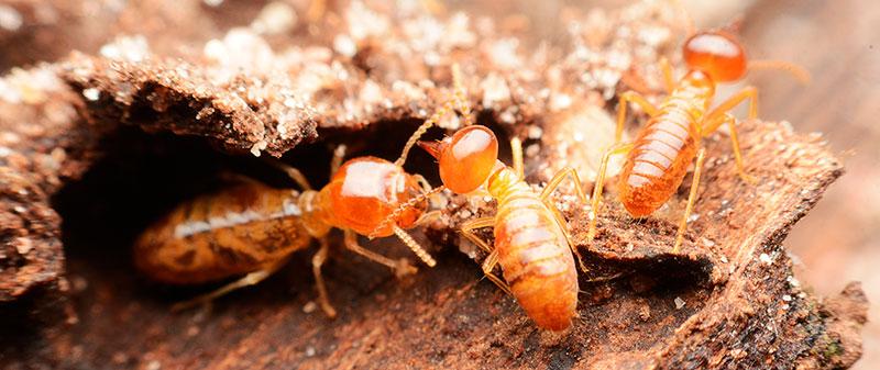 close-up-termites