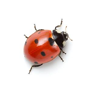 ladyBug-norm
