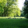 Sheep grazing in the Park thumbnail