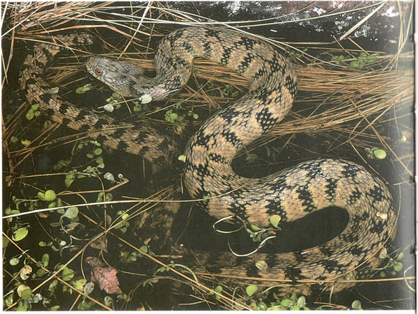 Picture of diamond back water snake