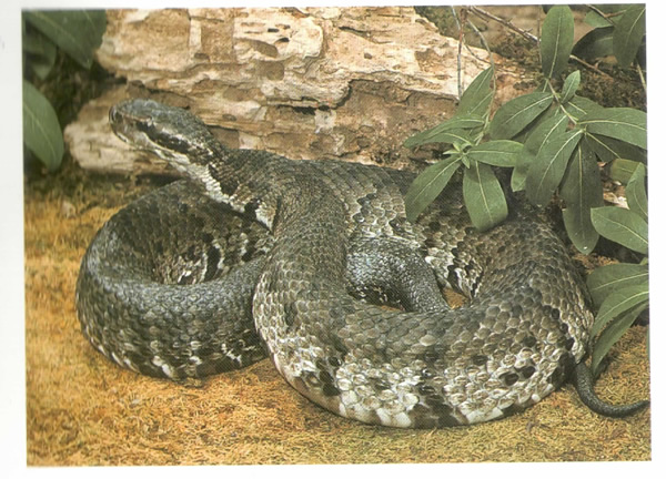image of western cottonmouth snake