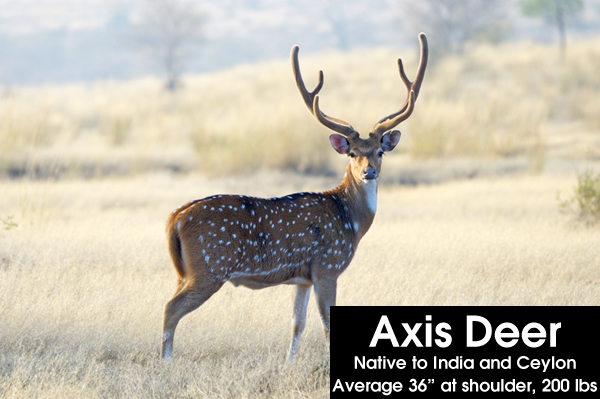 exotic ranch animals: axis deer