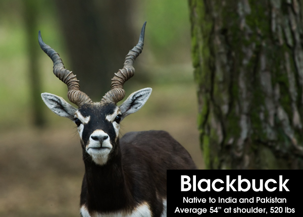 exotic ranch animals: blackbuck