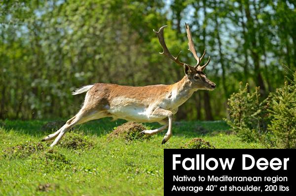 exotic ranch animals: fallow deer