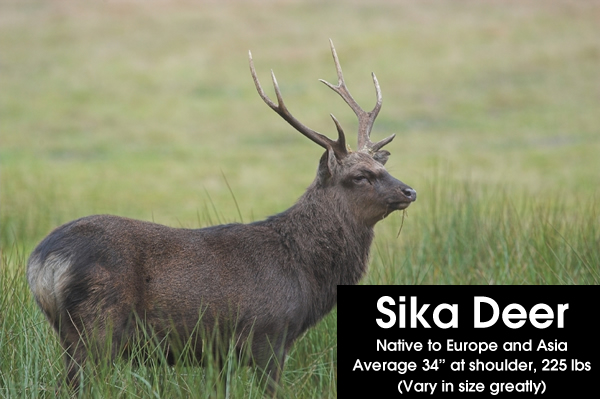exotic ranch animals: sika deer