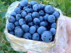 Berney Blueberry Farm