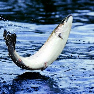 Huge salmon jumped out of the water